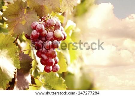 Bunches of ripe grape on plantation closeup #247277284