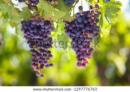 Bunches of ripe purple grapes growing on vines in vineyard