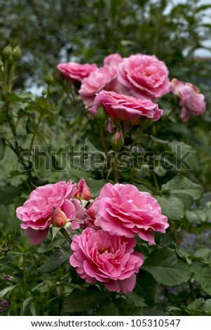 Bunches of soft pink roses in a city park garden.