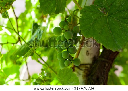 Bunches of unripe grapes of vines on a winery for making white wine. close up. horizontal