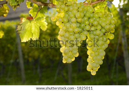 Bunches of white grapes ripening on a vine in Switzerland. Taken contre-jour. More vines and part of the vineyard owner's house can be seen, out of focus, in the background.