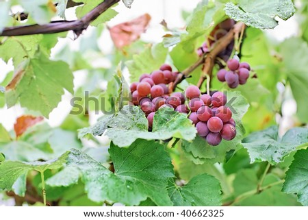 Bunches of white grapes with water drops, shallow depth of field, magic plastic and bokeh
