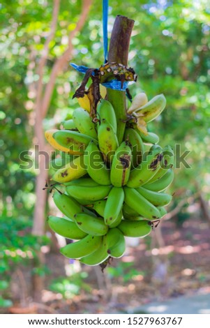 Bunches of yellow bananas bunch hanging outside a shop . #1527963767