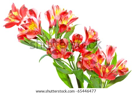 Bundle of alstroemeria peruvian lily flowers isolated on white