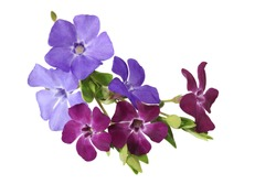 Bundle of myrtle periwinkle flowers isolated on white