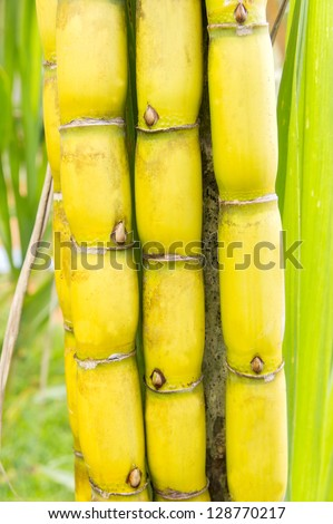 bundle of raw yellow cane