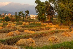 Bundle of sheaves of Paddy crop in background dried Dhauladhar Range seen, from Palampur.