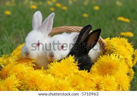 Bunnies in dandelion basket - nice Easter picture