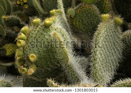 Bunny-ears-cactus Free Images and Photos - Page: 2 - Avopix com