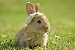 Bunny in grass, daisy coronet, spring and easter.