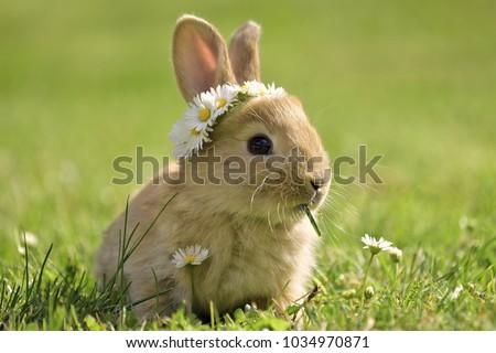 bunny in grass  daisy coronet ...