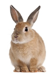 Bunny rabbit sitting in front of white background