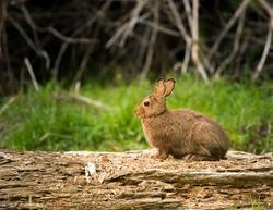 Bunny sitting on Log in Washington State