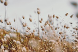 Bunny tails grass on vintage style; nature background