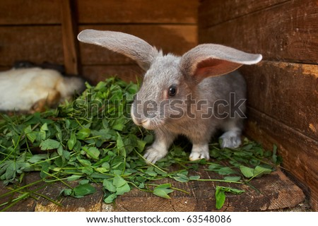 bunny which eats a clover at home