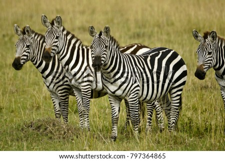 Burchell's (common, plains) zebras on grassland, Masai Mara Game Reserve, Kenya #797364865