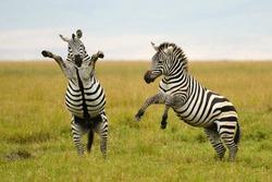 Burchell's or Plains Zebra in Tanzania