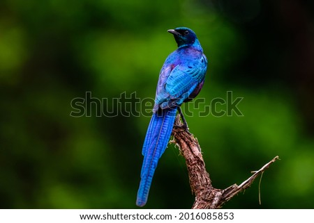 Burchell's starling bird in National park Kruger in South Africa. Stockfoto ©