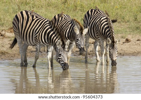 Burchell's Zebra (equus burchelli) drinking from a natural pan in South Africa's Kruger National Park