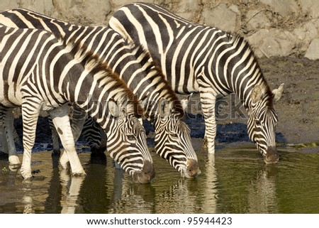Burchell's Zebra (Equus burchellii) drinking water from a natural pan in South Africa