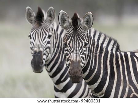 Burchell's Zebra (Equus burchellii), South Africa