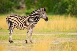 Burchell's zebra, Equus quagga burchellii, Nxai Pan National Park, Botswana, Africa. Wild animal on the green meadow. Wildlife nature on African safari. Zebra with yellow golden grass.