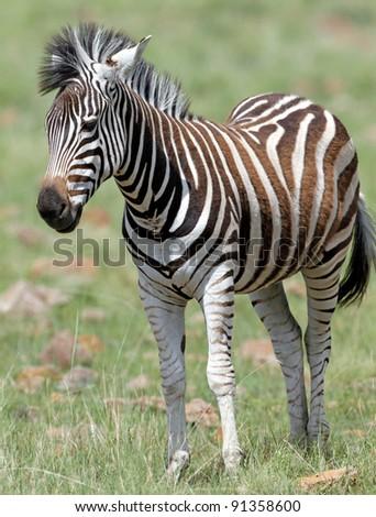 Burchells zebra; Equus Burchelli