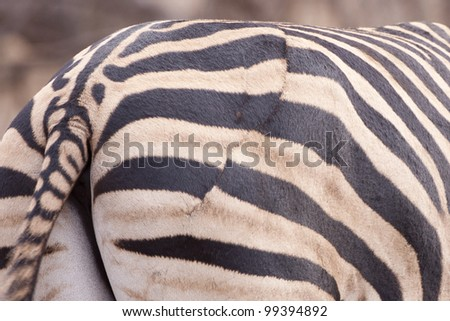 Burchells Zebra (Equus burchellii) old wound on the rump from a lion attack, south africa