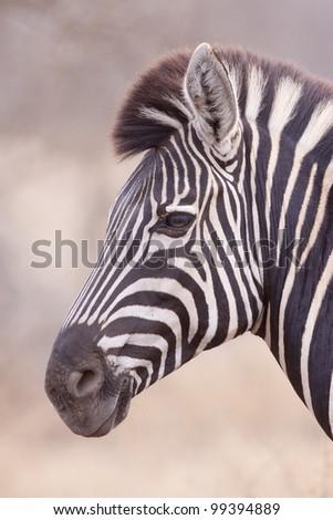 Burchells Zebra (Equus burchellii) portrait, South Africa