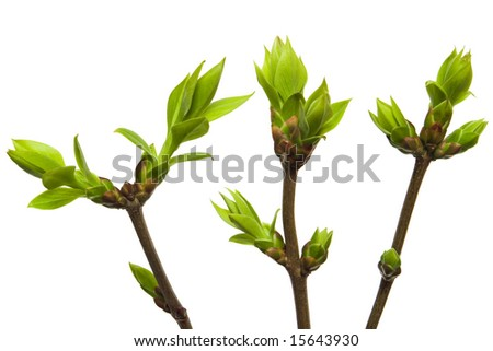 burgeons with green leaves isolated with clipping path - stock photo