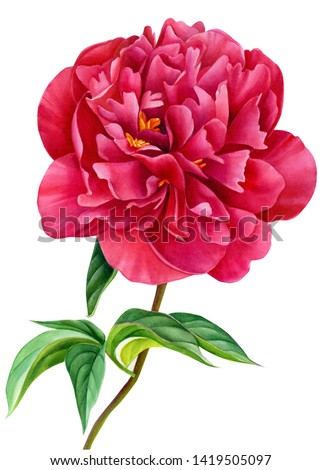 burgundy peonies on an isolated white background, beautiful watercolor flowers, botanical illustration, painting