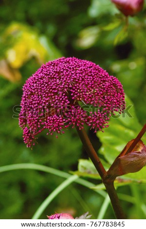 Burgundy red flowers of Giant Korean Angelica also called Purple Parsnip (Angelica gigas) in a border