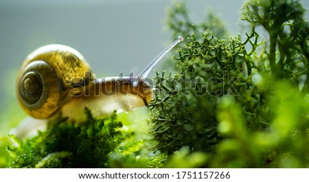 Burgundy snail helix escargot in natural environment moss macro. Edible snail on green grass and mold growing on land surface. Nature life concept Stock foto ©