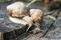 Burgundy snail (Helix pomatia) or escargot is a species land snail. May is the mating season for snails. A pair of Burgundy snail on a old stump in old garden, May  2020.