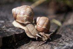 Burgundy snail (Helix pomatia) or escargot is a species of land snail. Burgundy snails on a forest snail farm. Growing snails on a snail farm for sale.