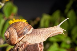 Burgundy snail (Helix pomatia) or escargot is a species of land snail. Roman snail on the trunk of the old tree in the forest. Edible snail isolated on a dark background, selective focus, close-up.