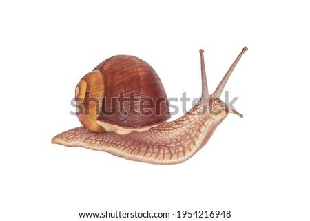 Burgundy Snail On A White Background. Isolated. Helix pomatia - burgundy snail, Roman snail, edible snail, grapel, escargot. Stockfoto ©