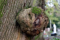 burl on a tree trunk in a park in cologne