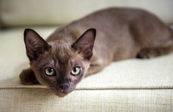 Burma cat lying on coach, cute brown Burmese kitten looking at camera indoor. Portrait of playful Burmese European cat about 3 months in daylight. Burmese cat with chocolate fur color plays at home.
