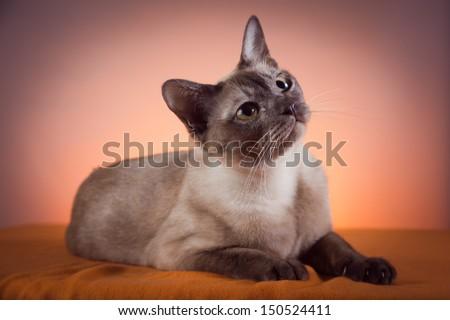 burmanskaya cat, Tonkinese, thai Stock photo ©