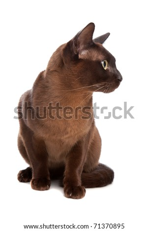 Burmese cat - stock photo