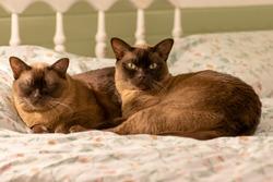 Burmese cat and kitten lie together.