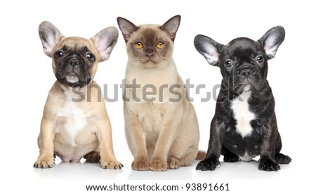 Burmese cat and two French bulldog puppies sits on a white background