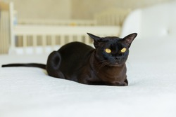 Burmese cat at home. Bright interior in the beautiful  bedroom. Brown cat with brown eyes. White interior.