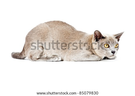 Burmese cat isolated on white background