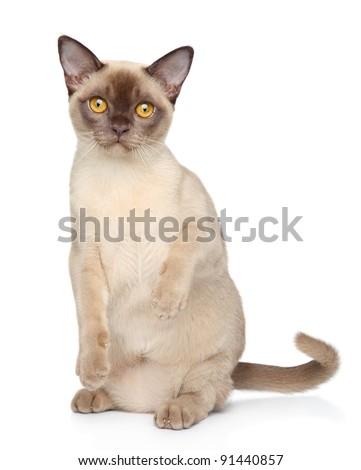 Burmese cat sits on white background