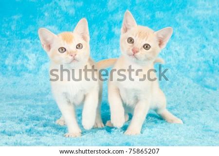 Burmese kittens on blue faux fur