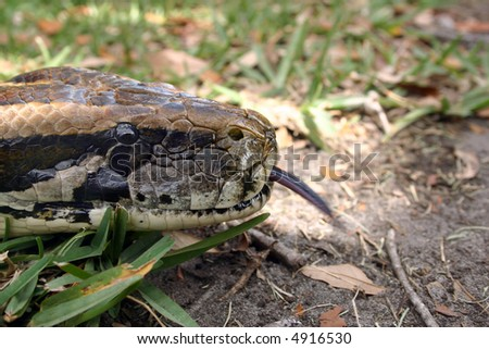 Burmese Python sensing with the tongue [Python molurus bivittatus].