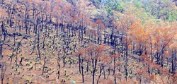 Burned Eucalyptus forest after bushfires and little new green trees are growing, Australia. Recovery after fire damage