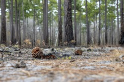Burned pine cones on an empty forest floor after a controlled burn cleared the land of vegetation.
